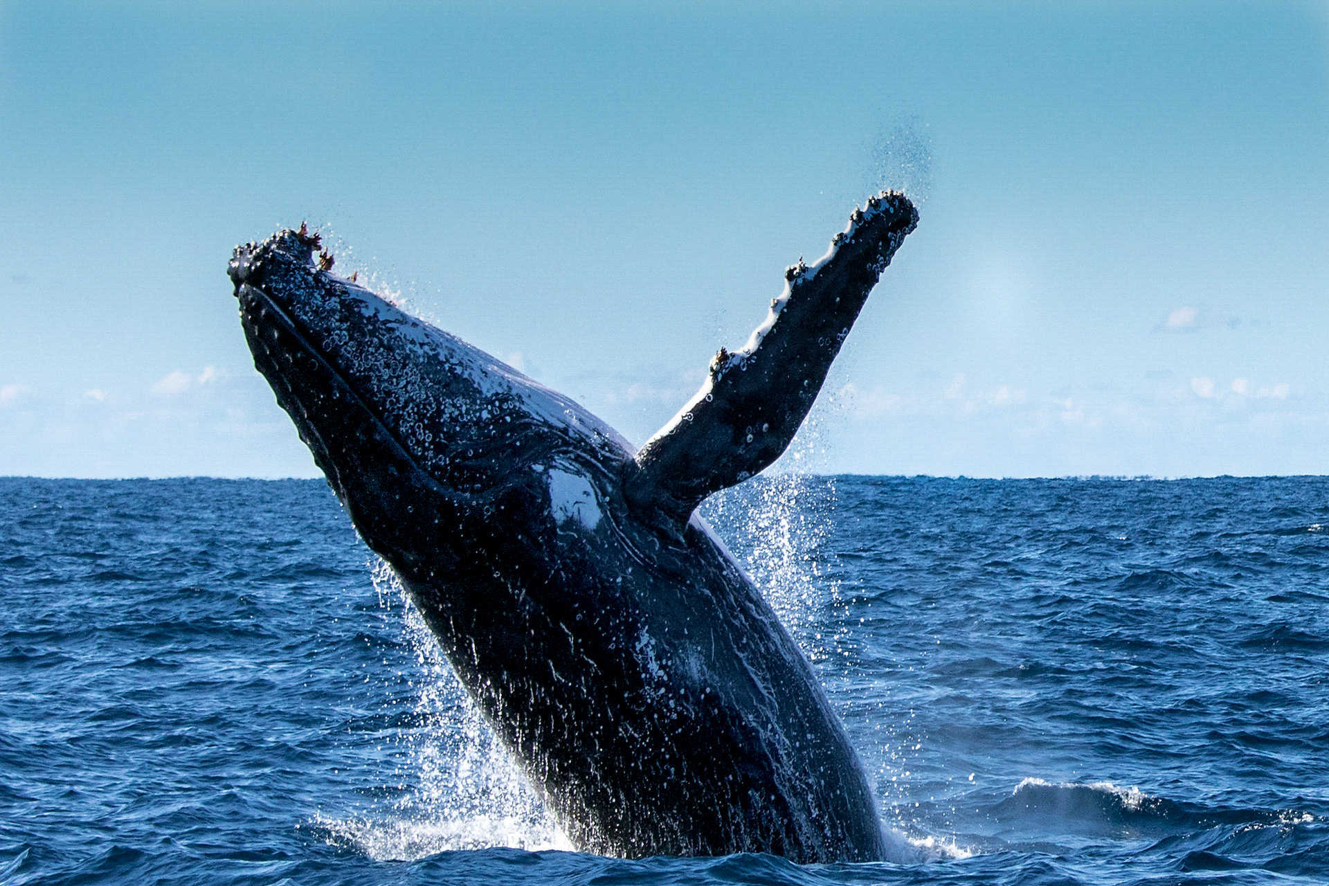 Humpback whales, the grand spectacle
